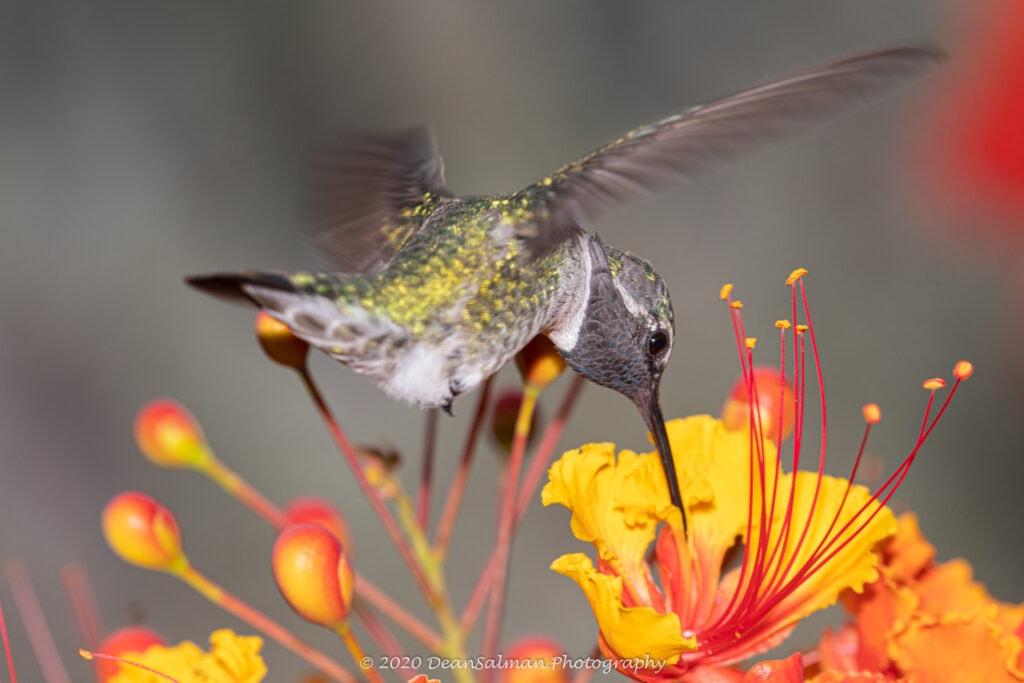 Dean Salman Hummingbird Photography