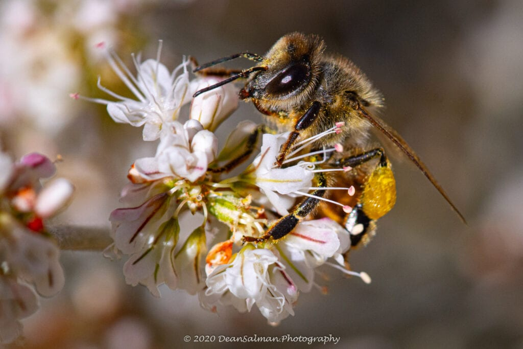 Dean Salman Photography Bee