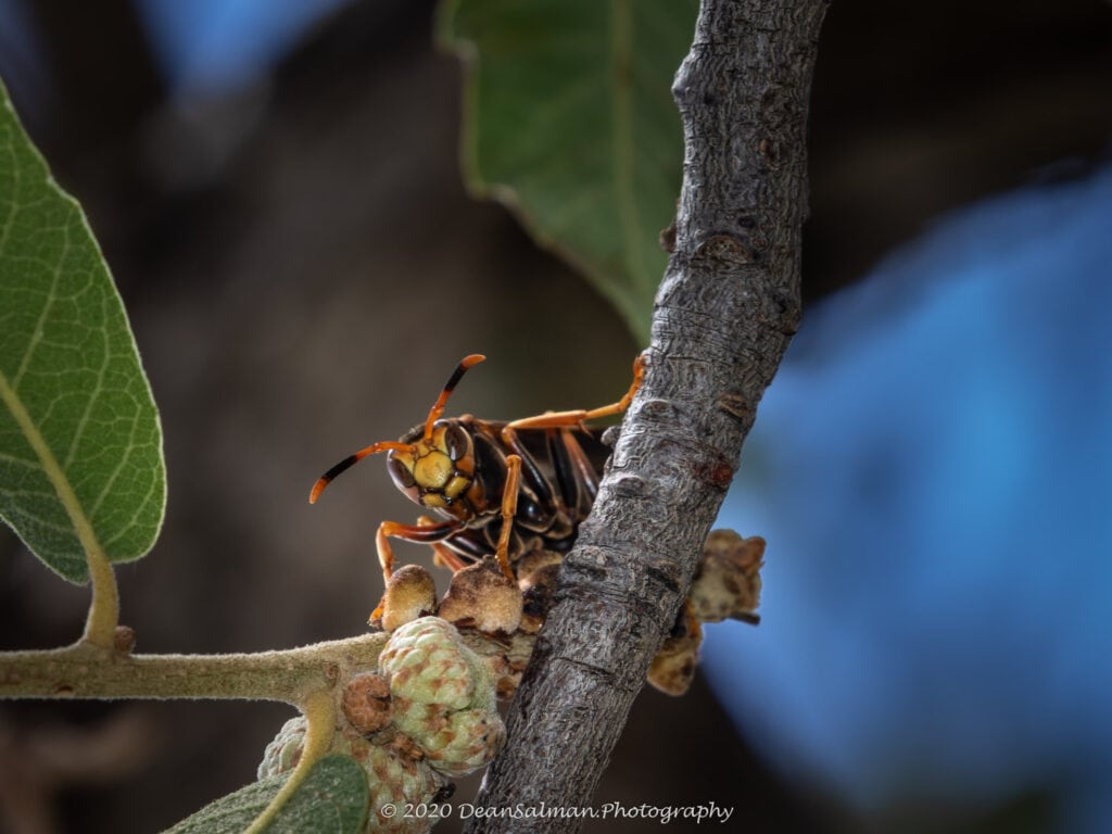 Dean Salman Wasp Photography