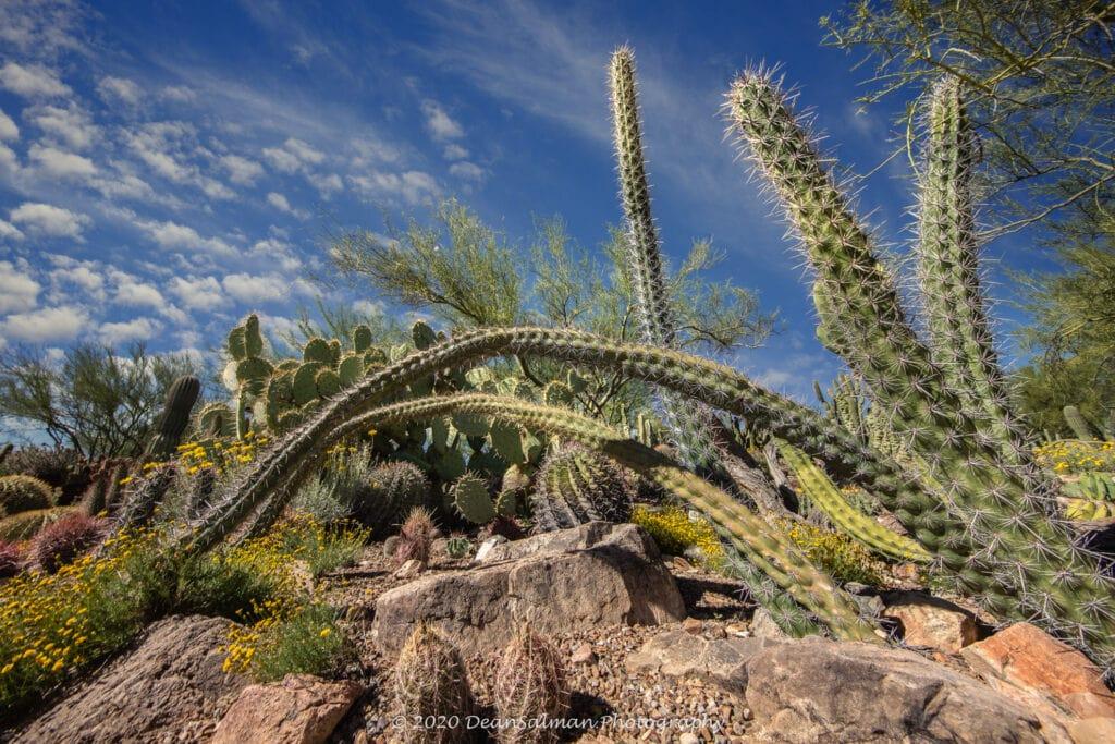 Dean Salman Cactus Photography